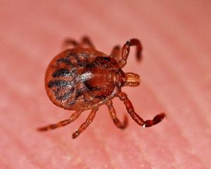 3 Ticks in Virginia and the Diseases They Cause